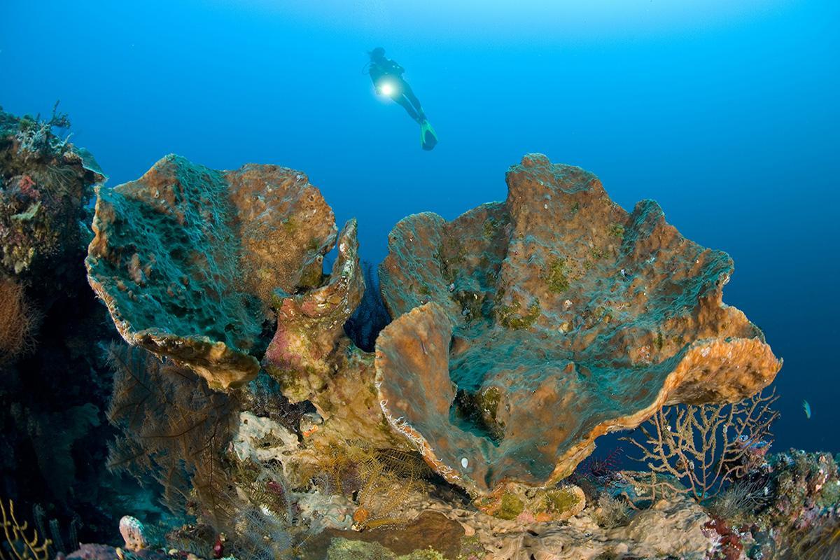 Diver Coral