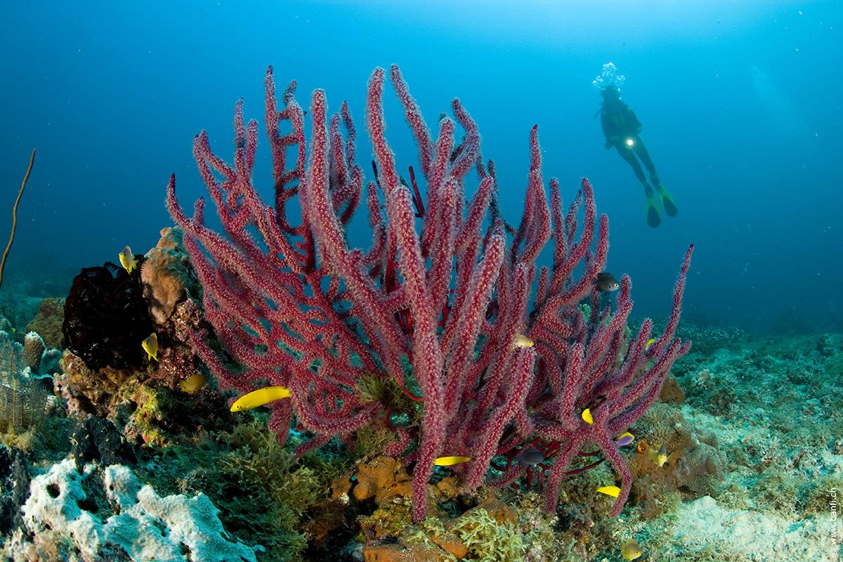 Coral Reef and a Scuba Diver