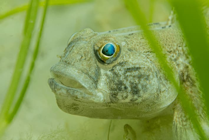 Black Goby in Seagrass