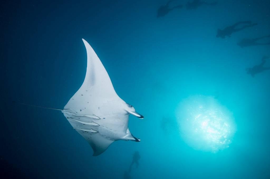 Maldives Diving Holiday Kuredu, Manta Ray