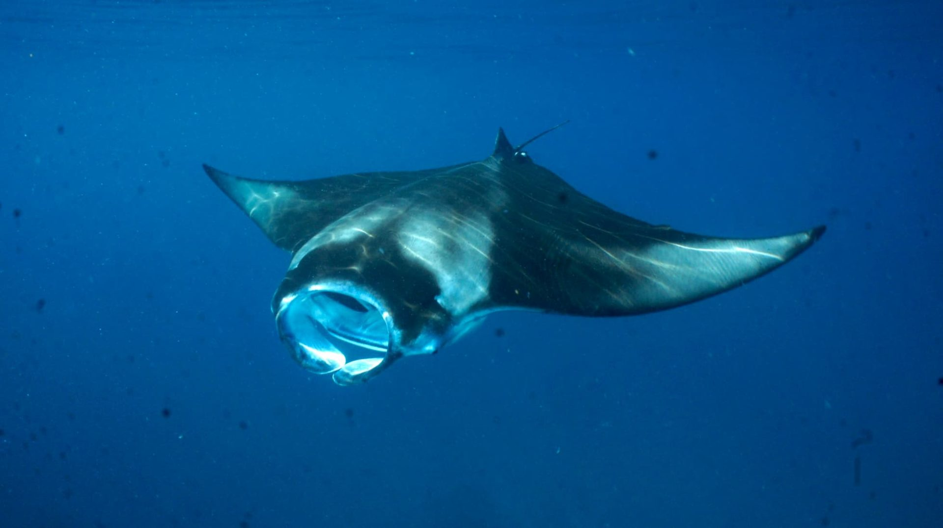 harks, rays and skates, and chimaeras – are now threatened with extinction.