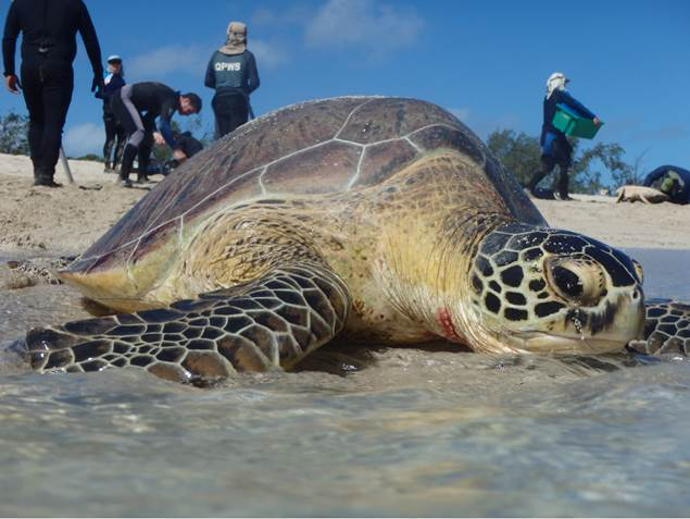 4000 chemical compounds found in Great Barrier Reef turtles