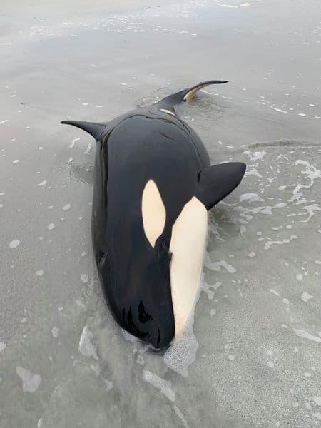 A juvenile orca