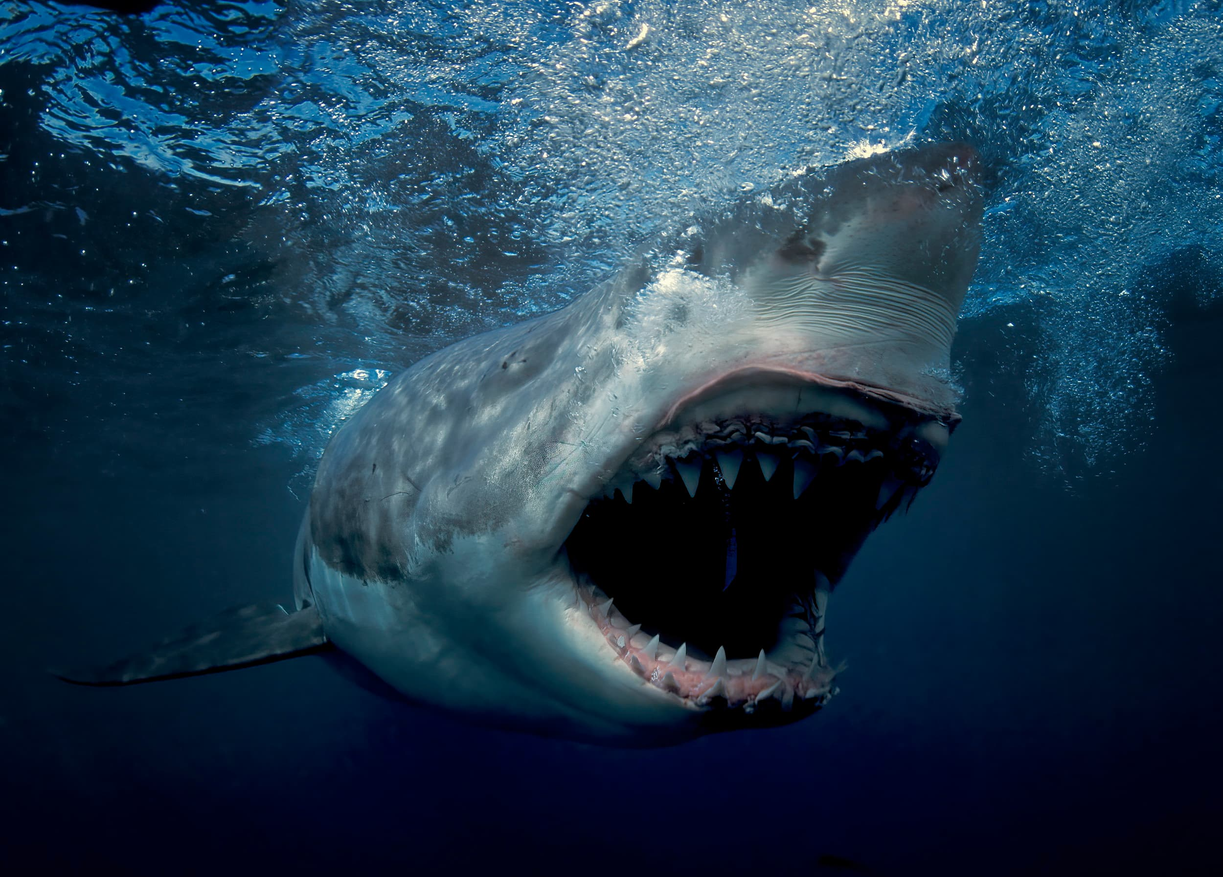 Great white in full attack mode