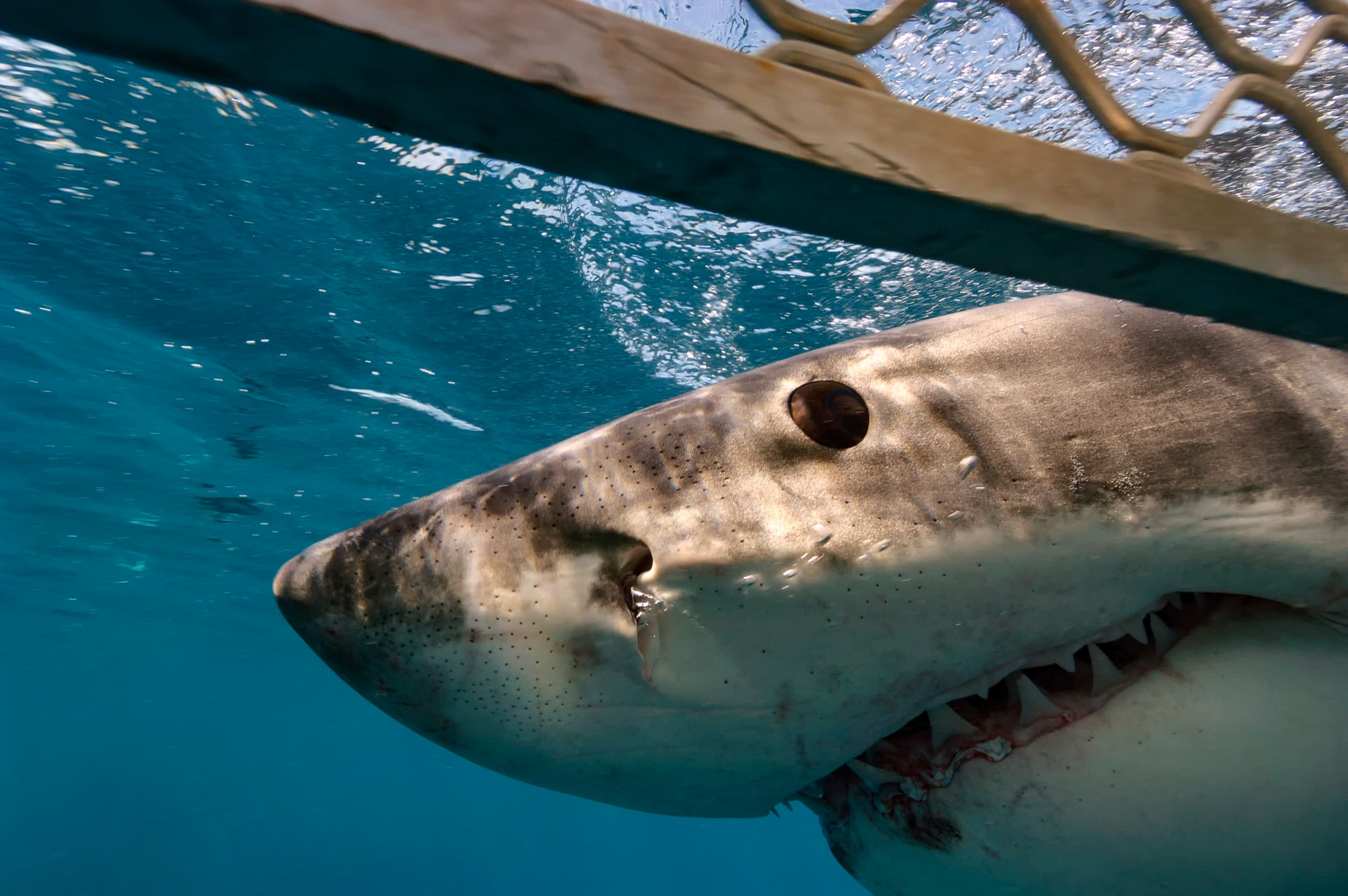 Great white shark checks out the cage