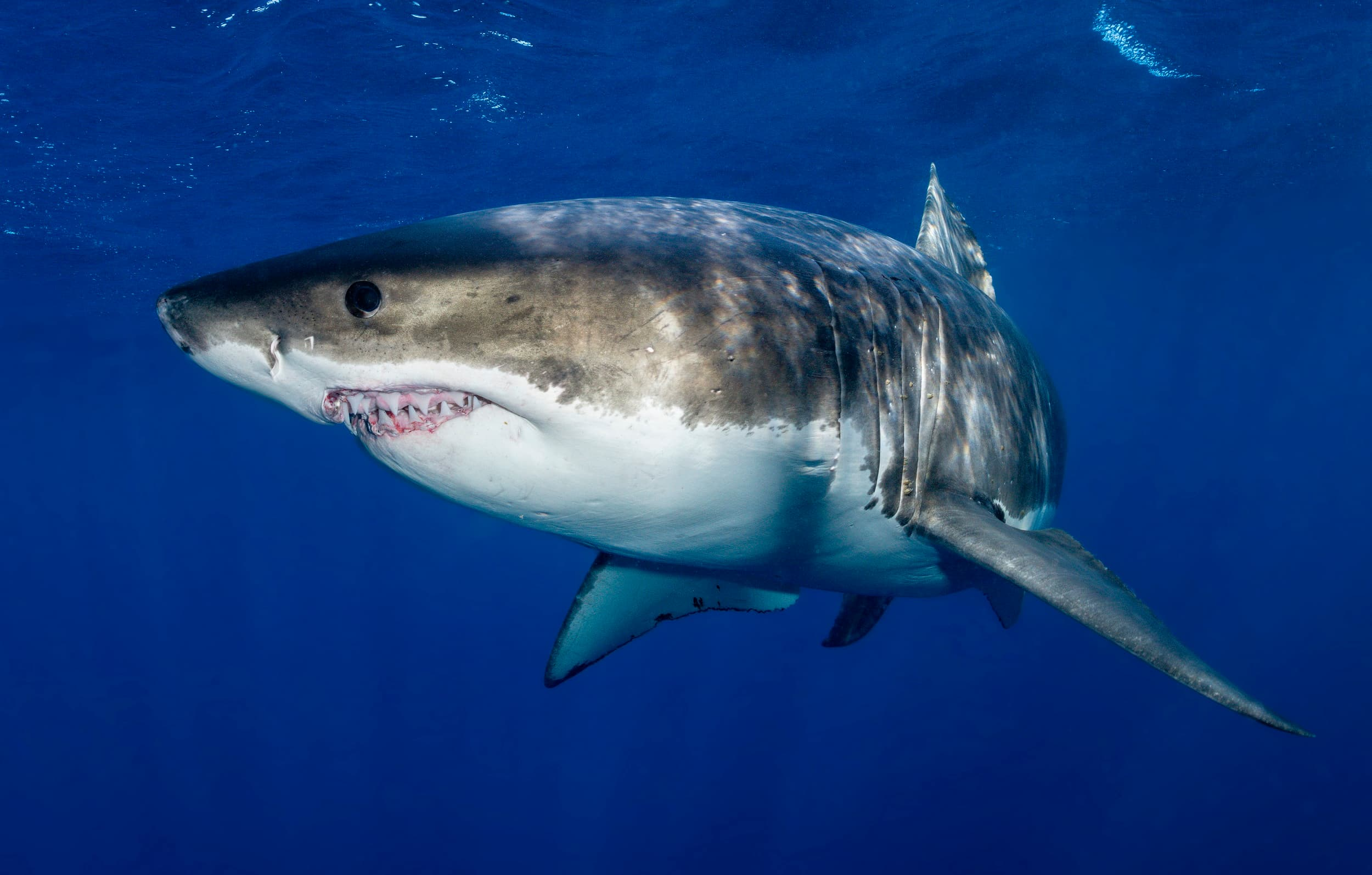 Great white shark patrols near the cage