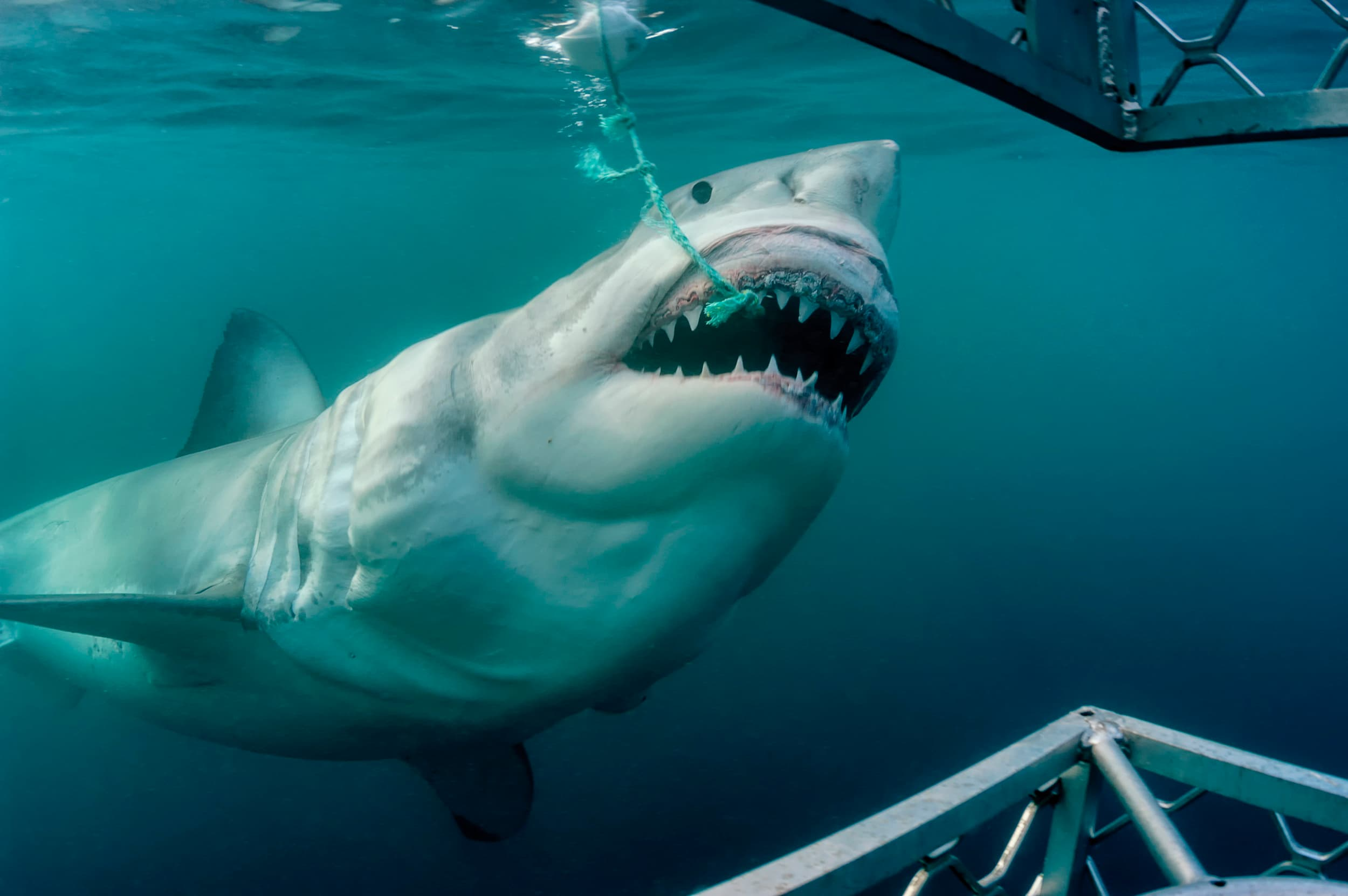 Great white shark takes a bait
