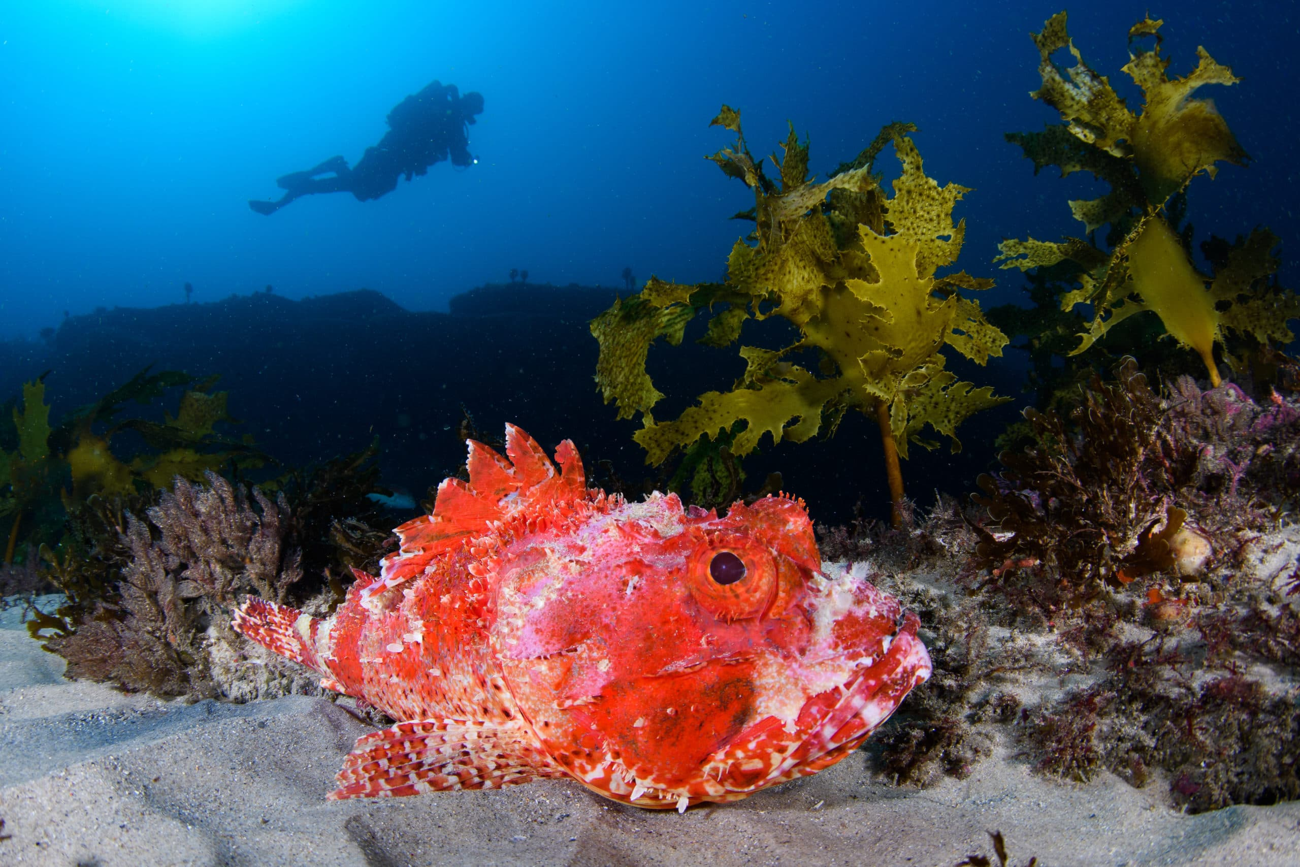 Scorpionfish are ideal subjects for CFWA, as they can be easily approached. Shark Point, Sydney.