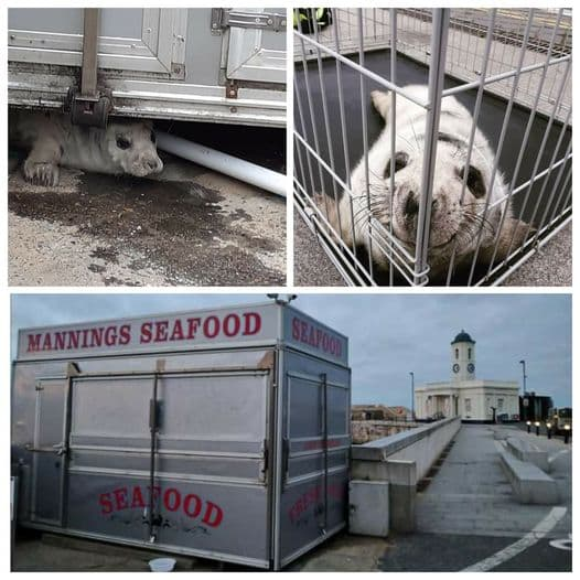 Tiny Seal was rescued by BDMLR members from under Mannings Seafood trailer in Kent
