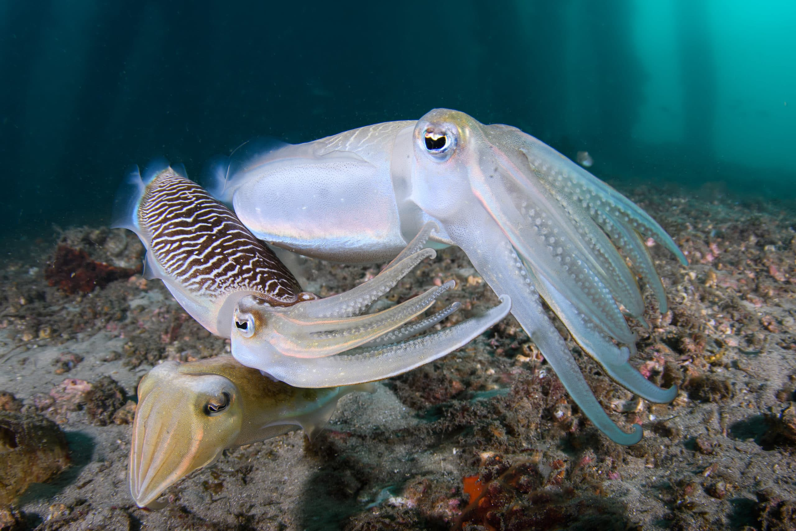 Two male cuttlefish competing for a female (bottom animal), on a mucky bottom, below Clifton Gardens' jetty (Sydney).