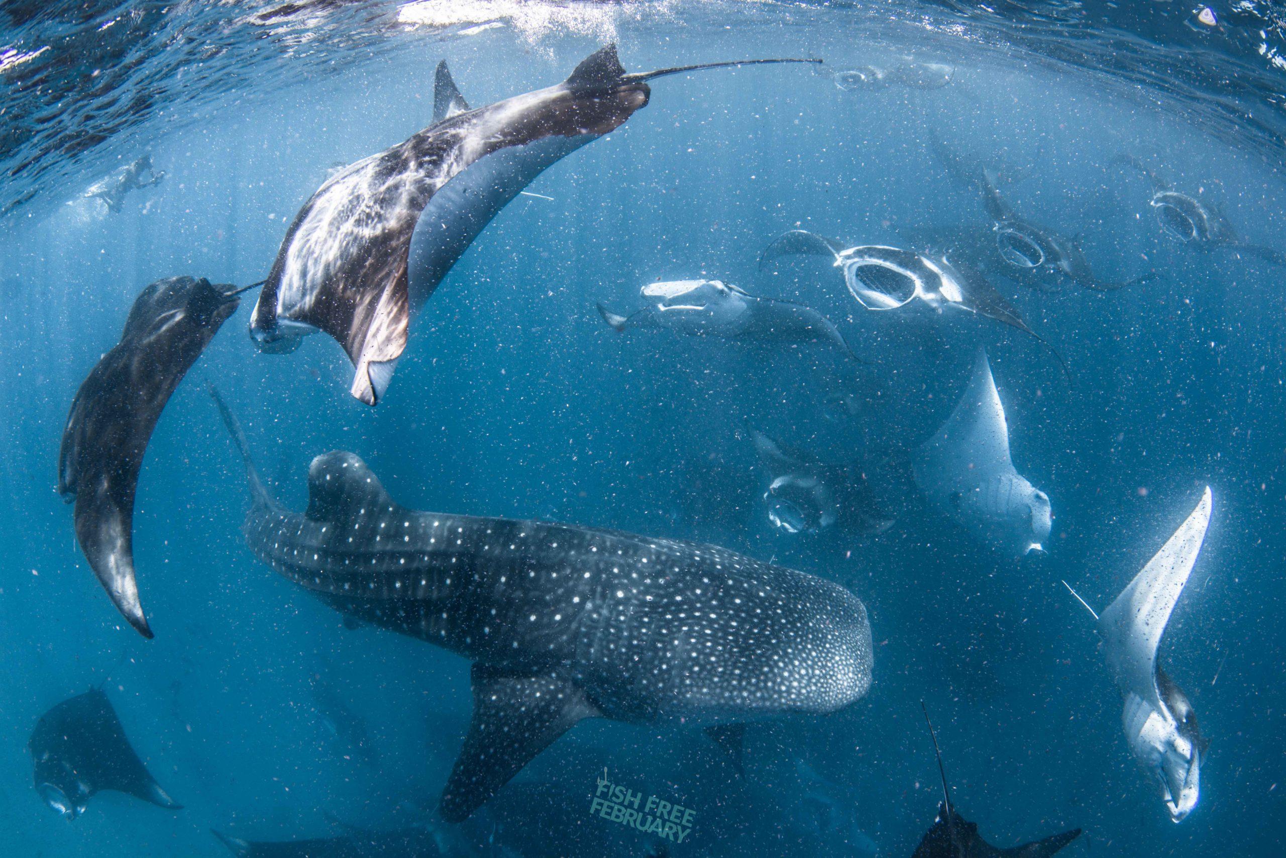 Whale Shark and mantas