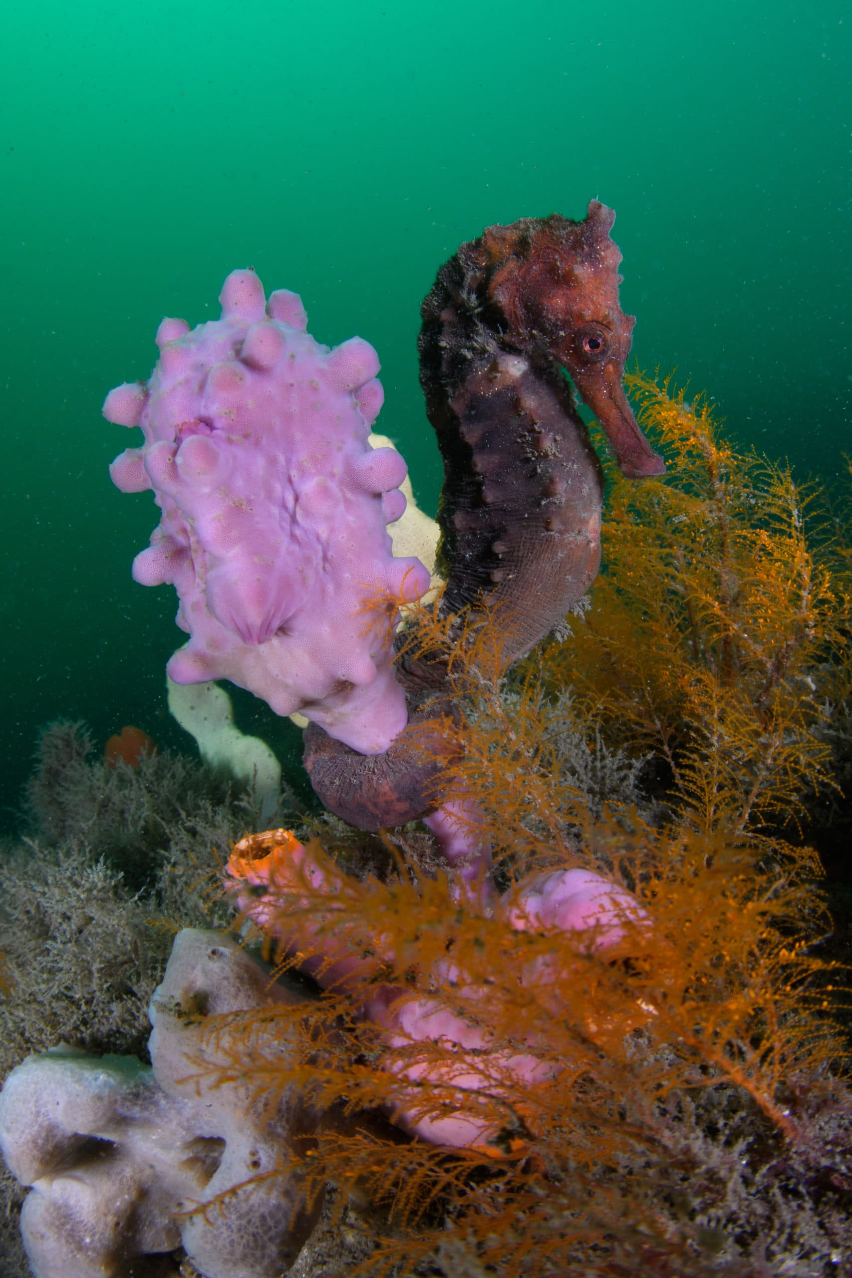The visibility was down to 3 meters that day, yet the CFWA technique produced a clean shot of this seahorse. Bare Island, Sydney.