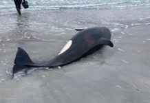 a juvenile orca, some three to four years old, and around three-and-a-half metres long