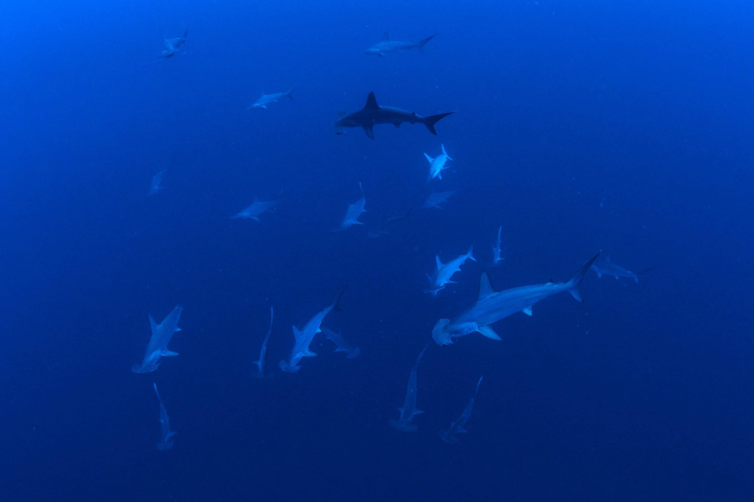 hammerhead sharks in sudan