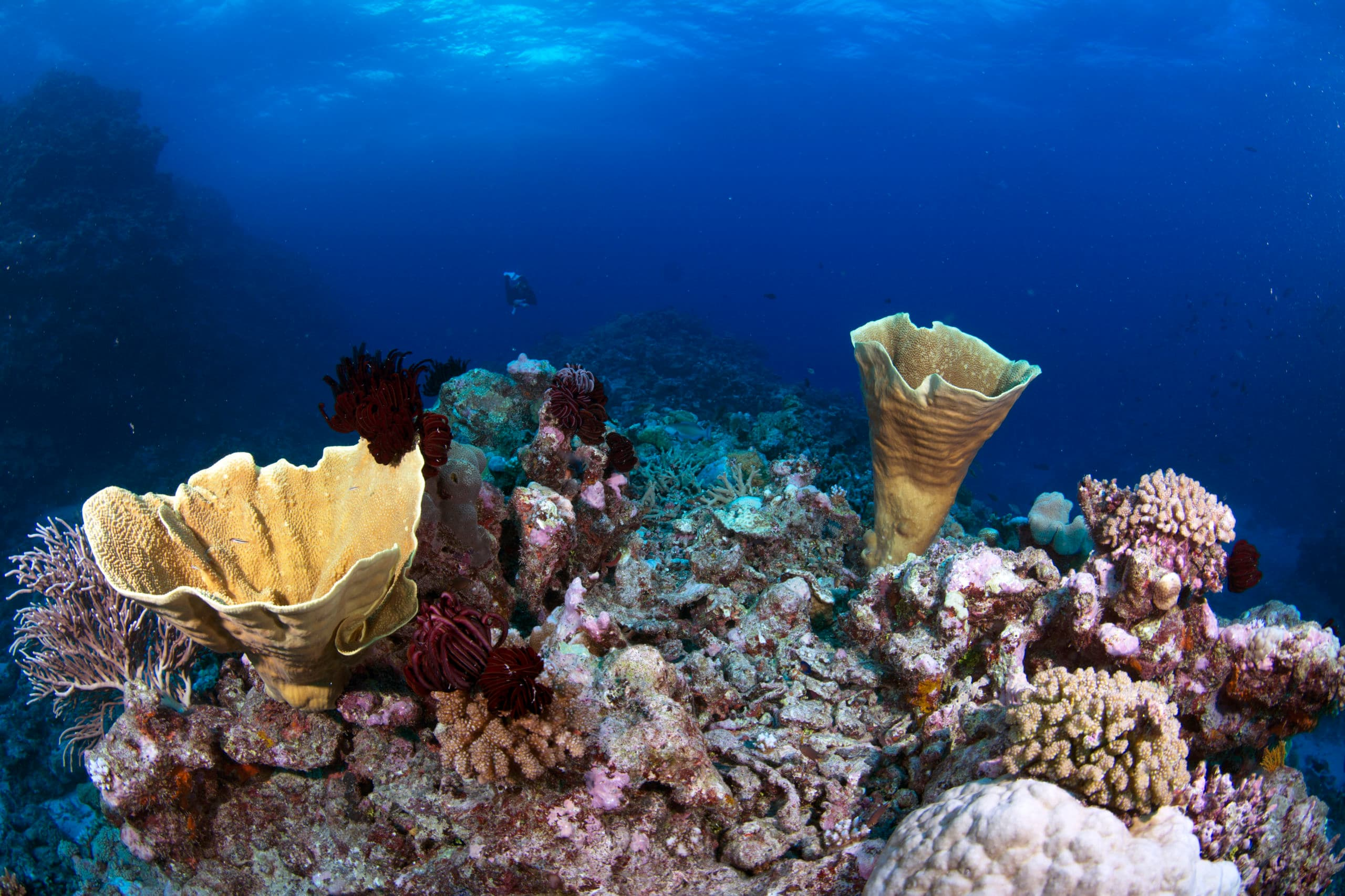 Hard coral coverage provides a haven for a myriad of small reef fish