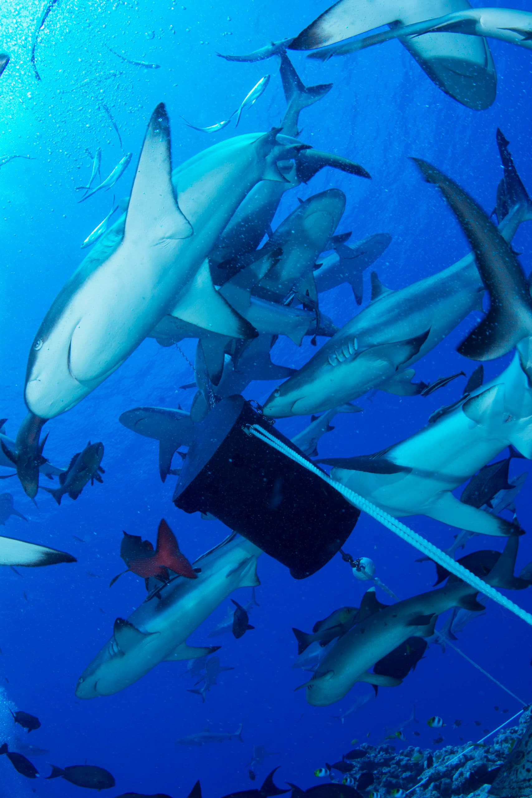 shark attraction dive