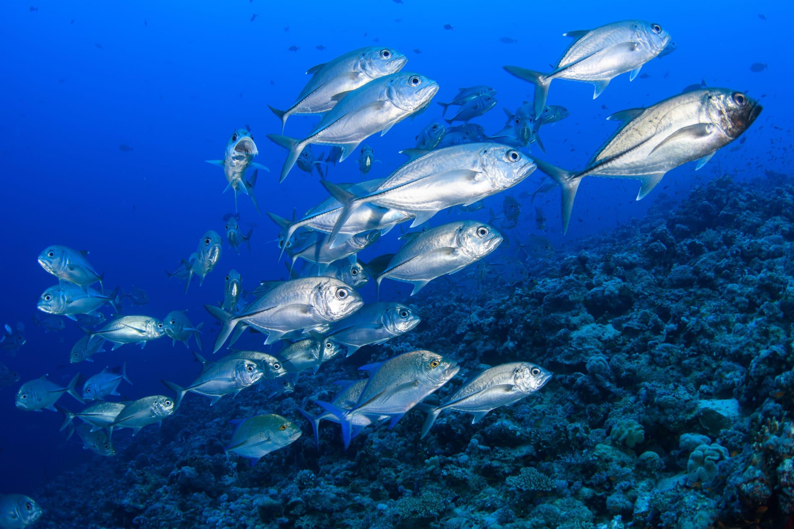 undersea shoal