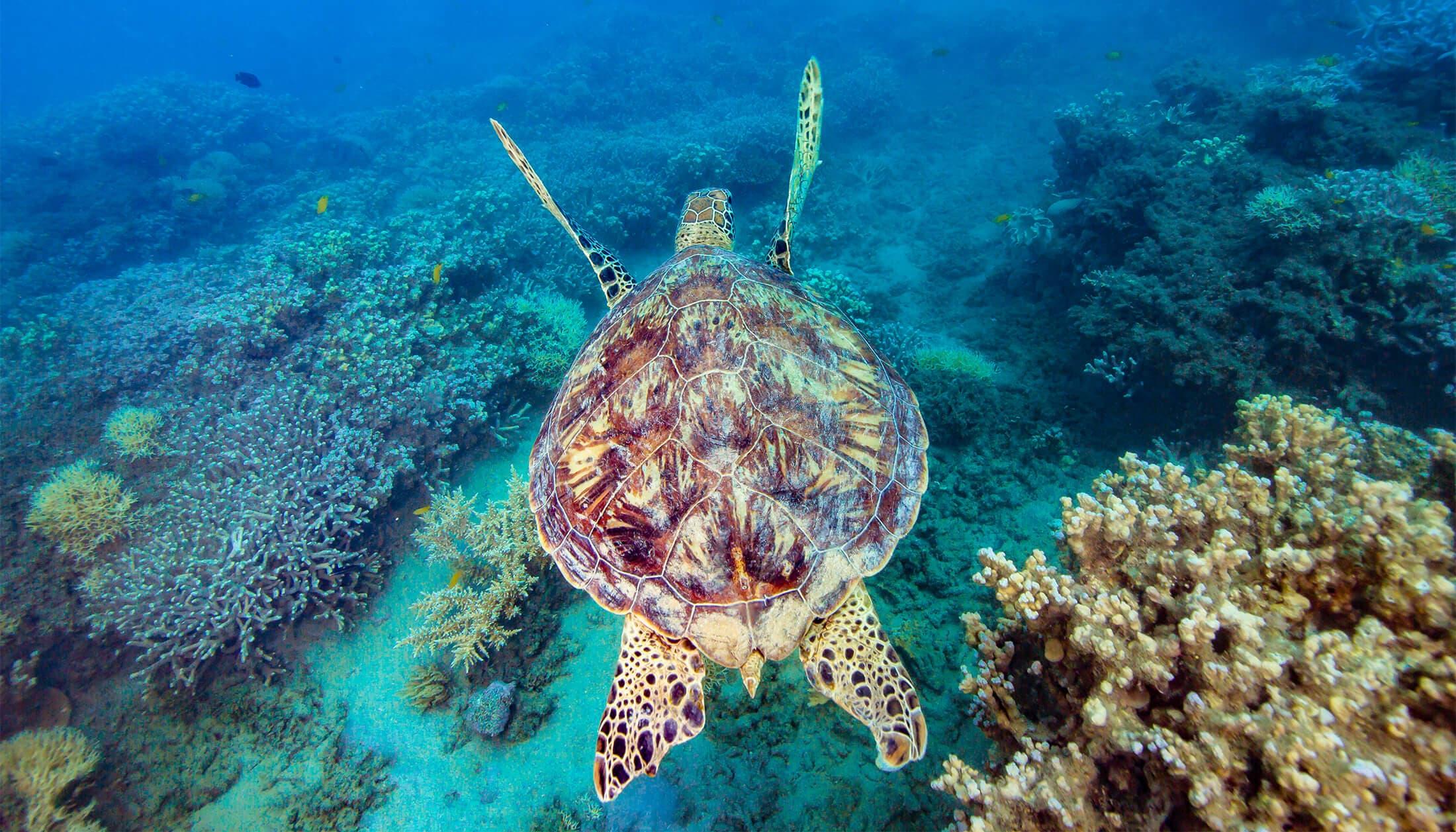 Frankland Islands - Turtle