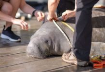 Manatees Released Back to the Wild