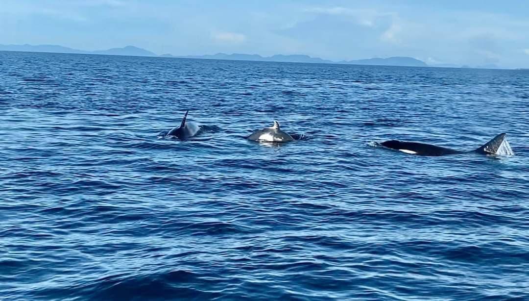 The orcas sighted at Pulau Sipadan in January 2021 (Photo credit:Arapat bin Abdurahim)