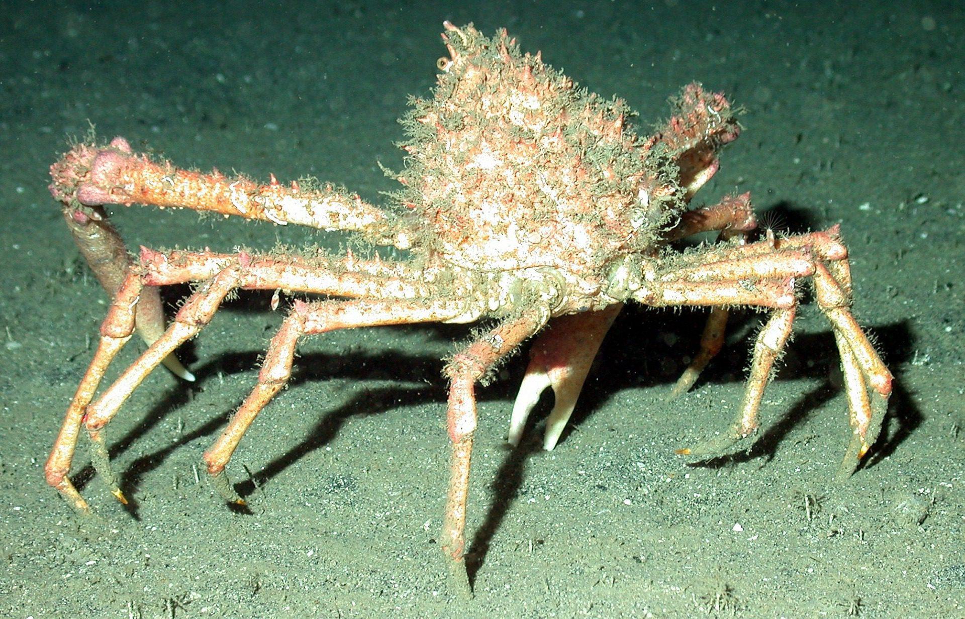 Cornish king crab