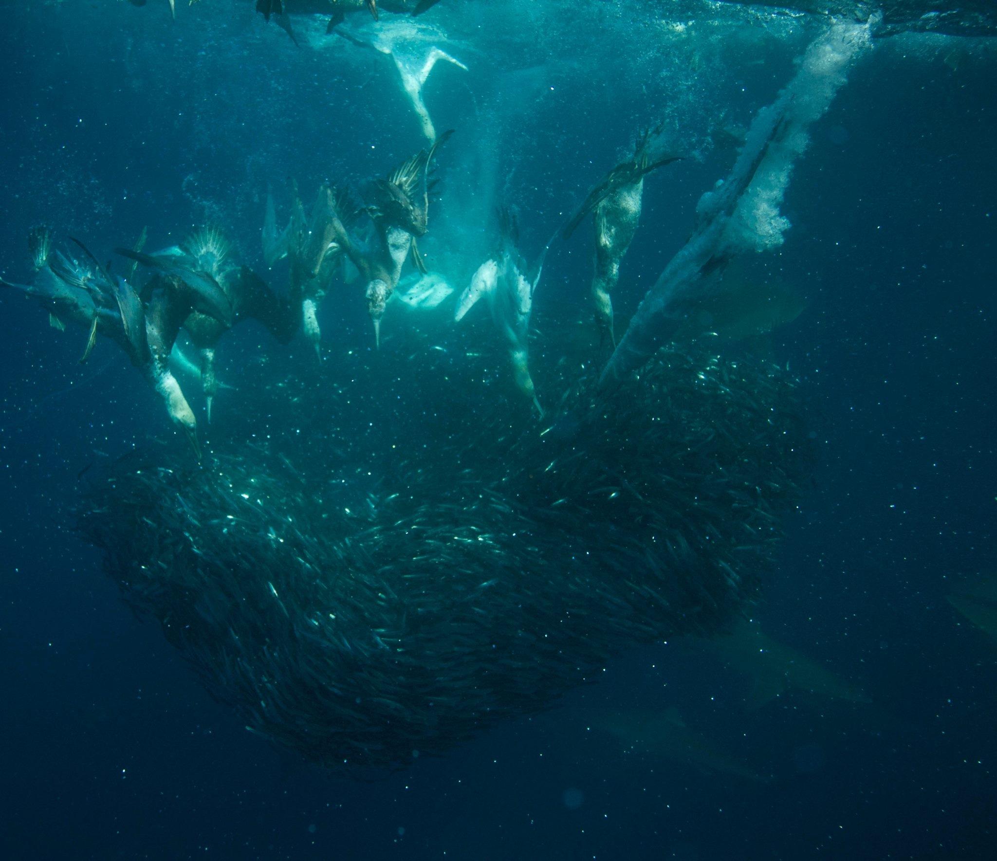 Spectacular Sardine Run