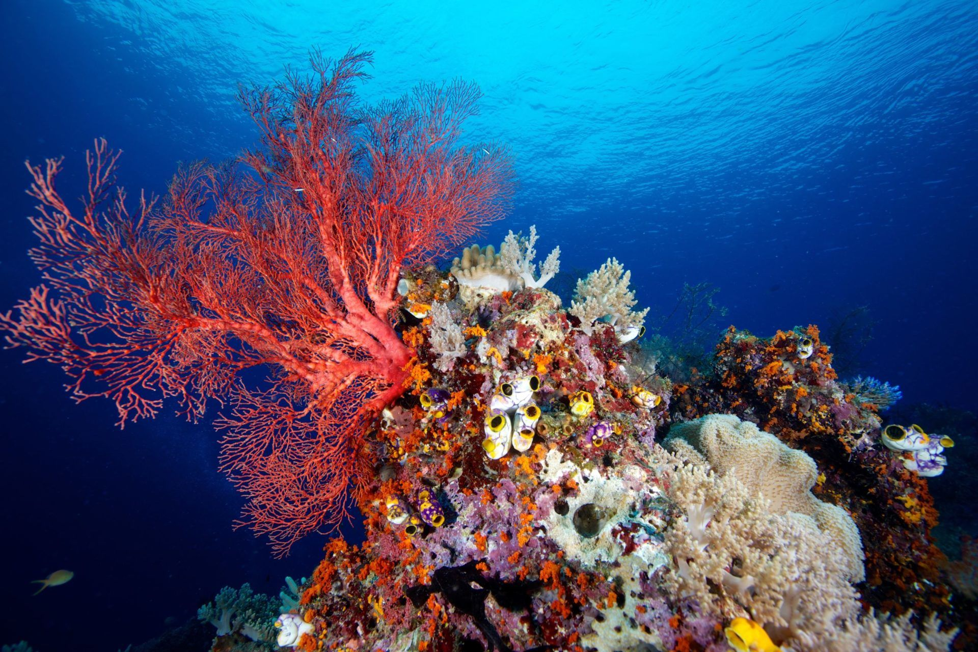 Scuba Diving at Apo Reef National Park