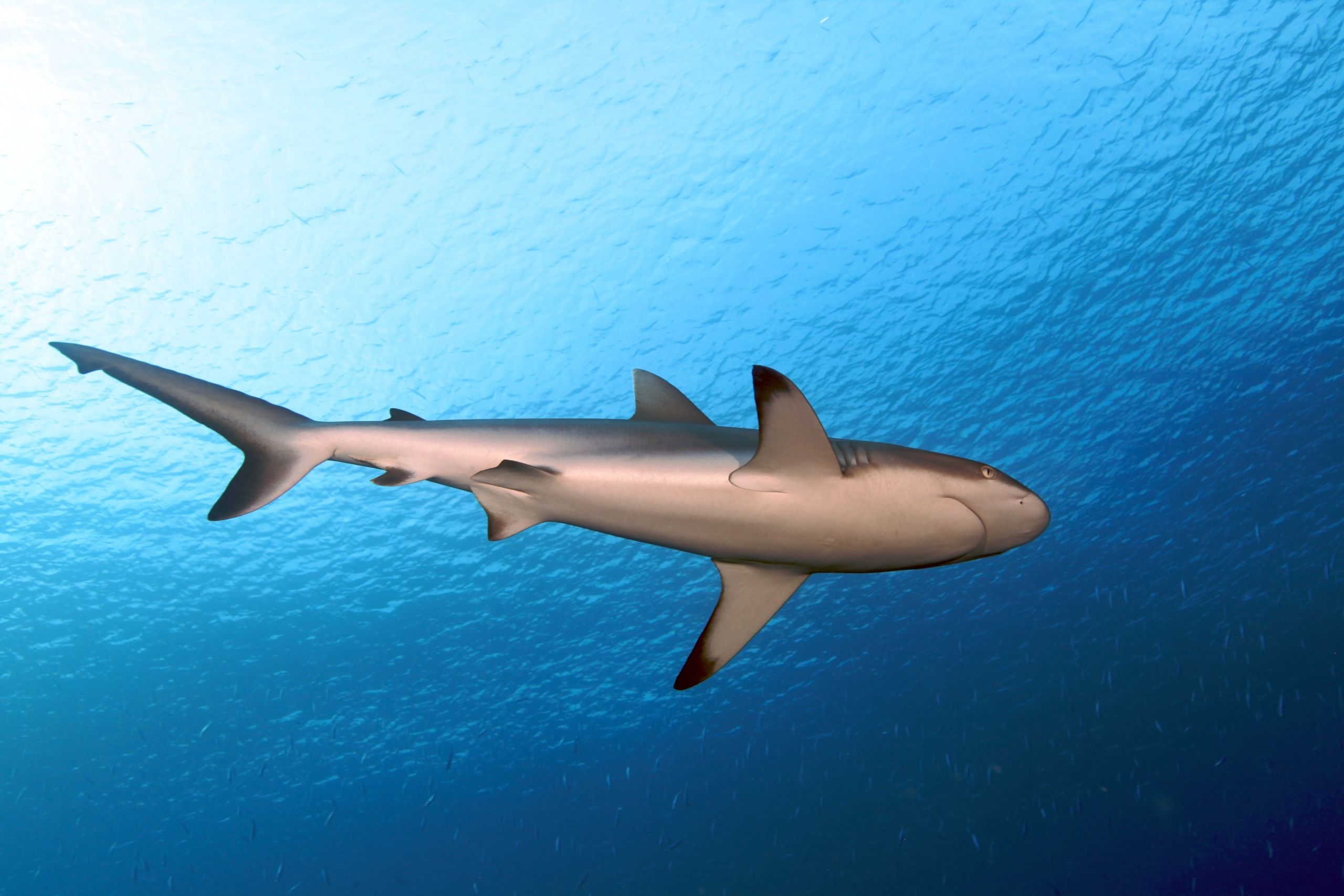 Black Tip by Greg Piper