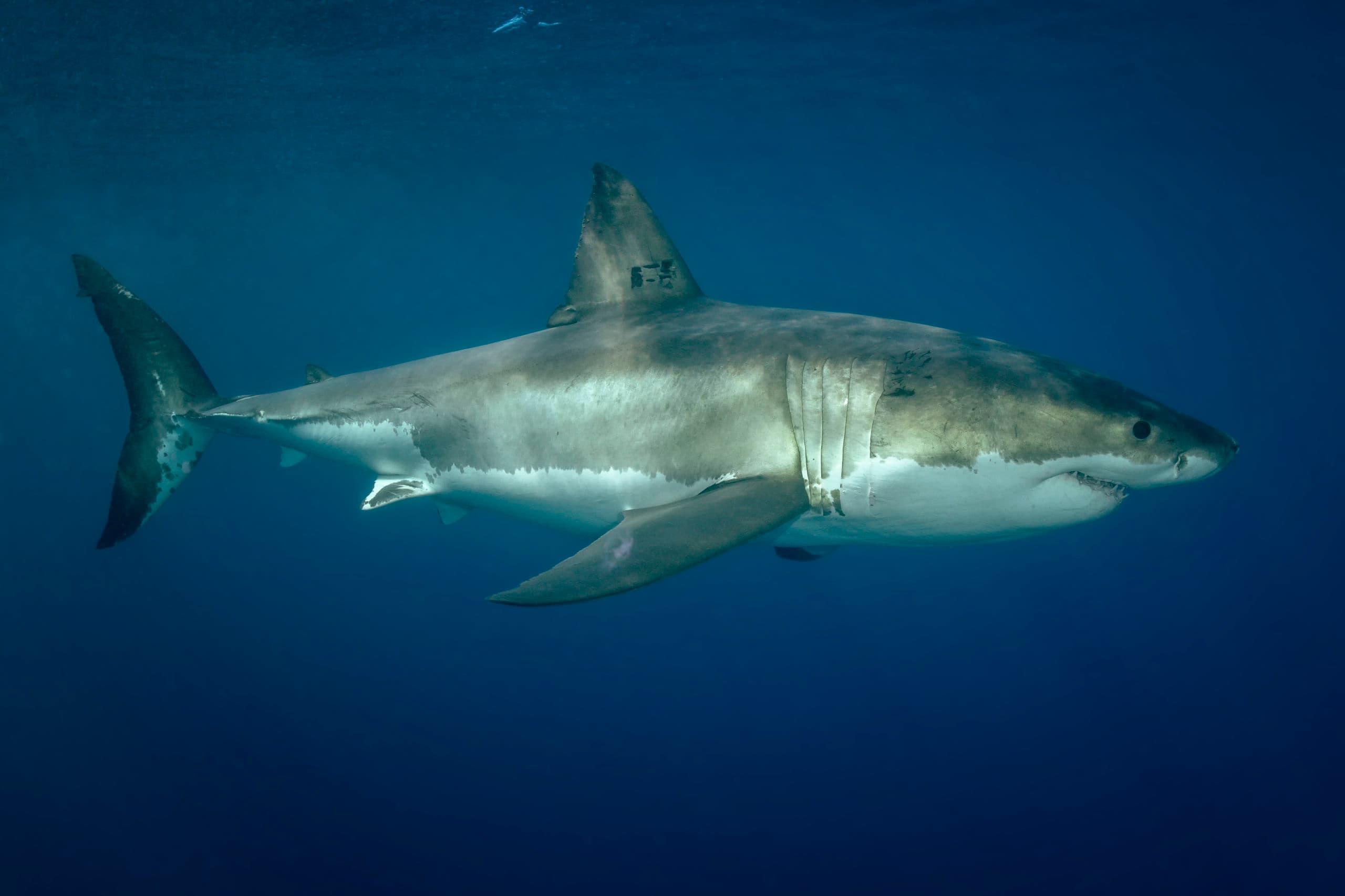 Cruising great white shark