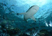 Maldives Planning to Legalise Shark Fishing