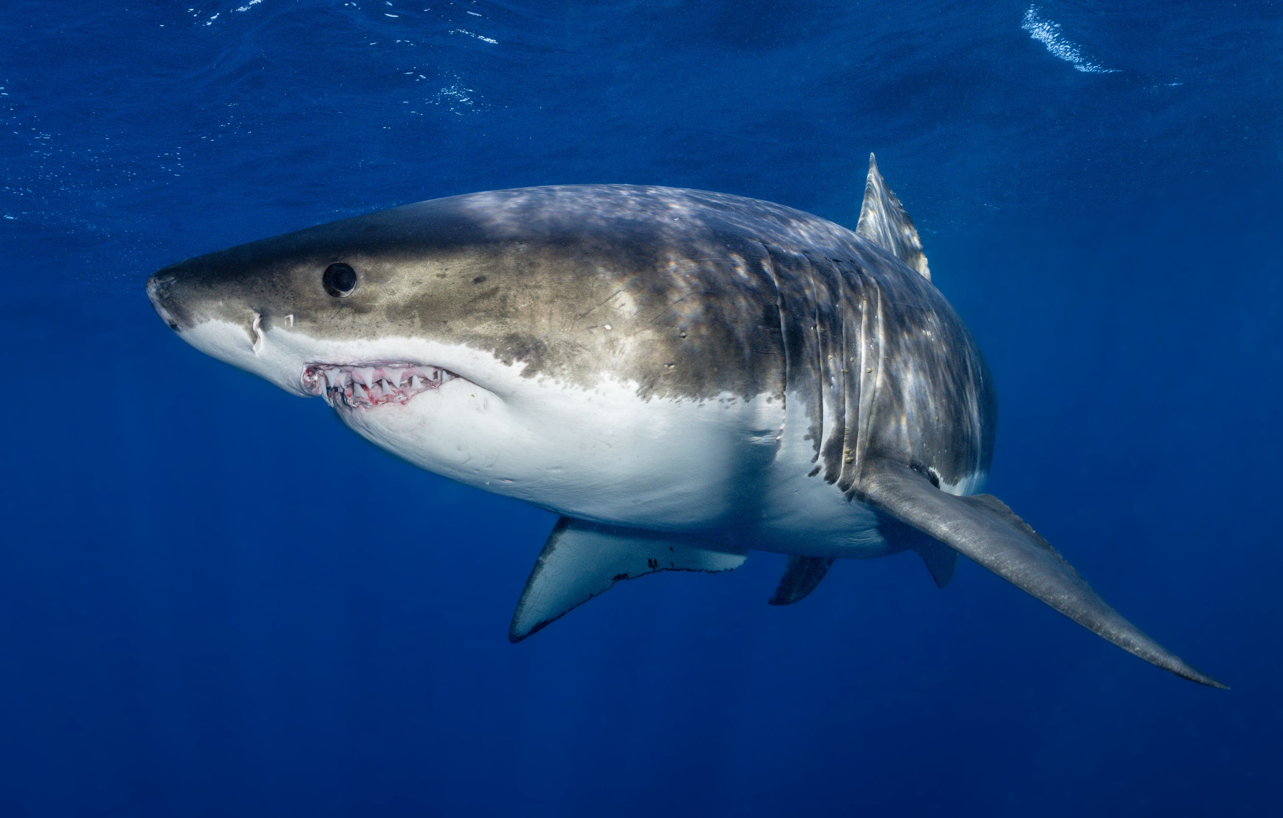 Great white patrols near the cage