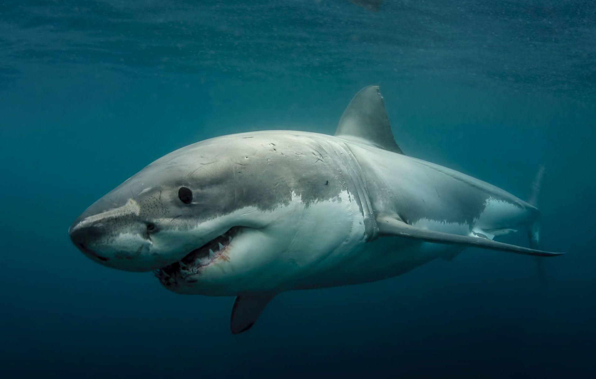 Great White Shark Legend Rodney Fox