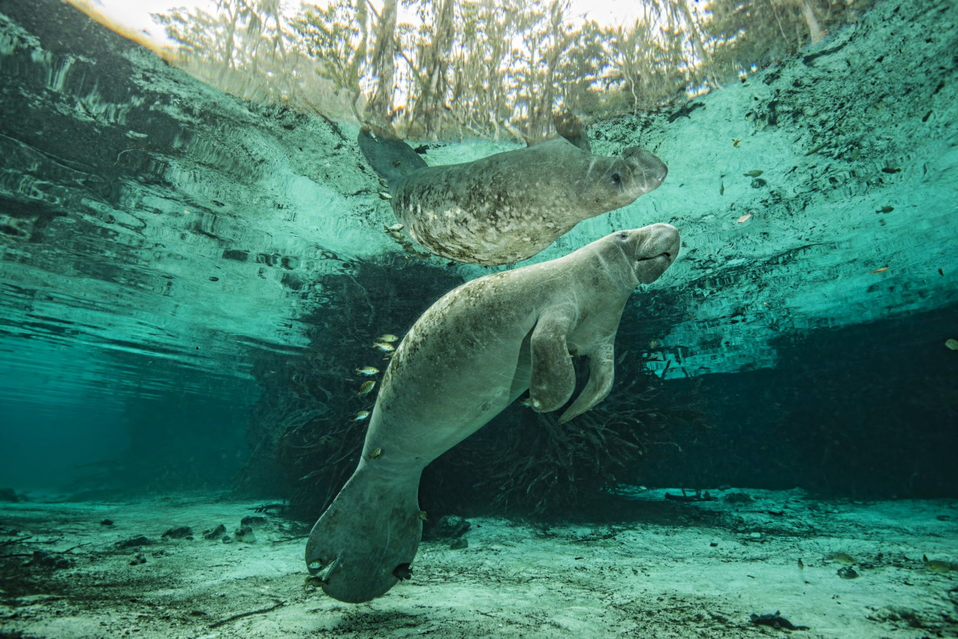 Manatees of the Crystal River – Big Animal Encounters with Don Silcock