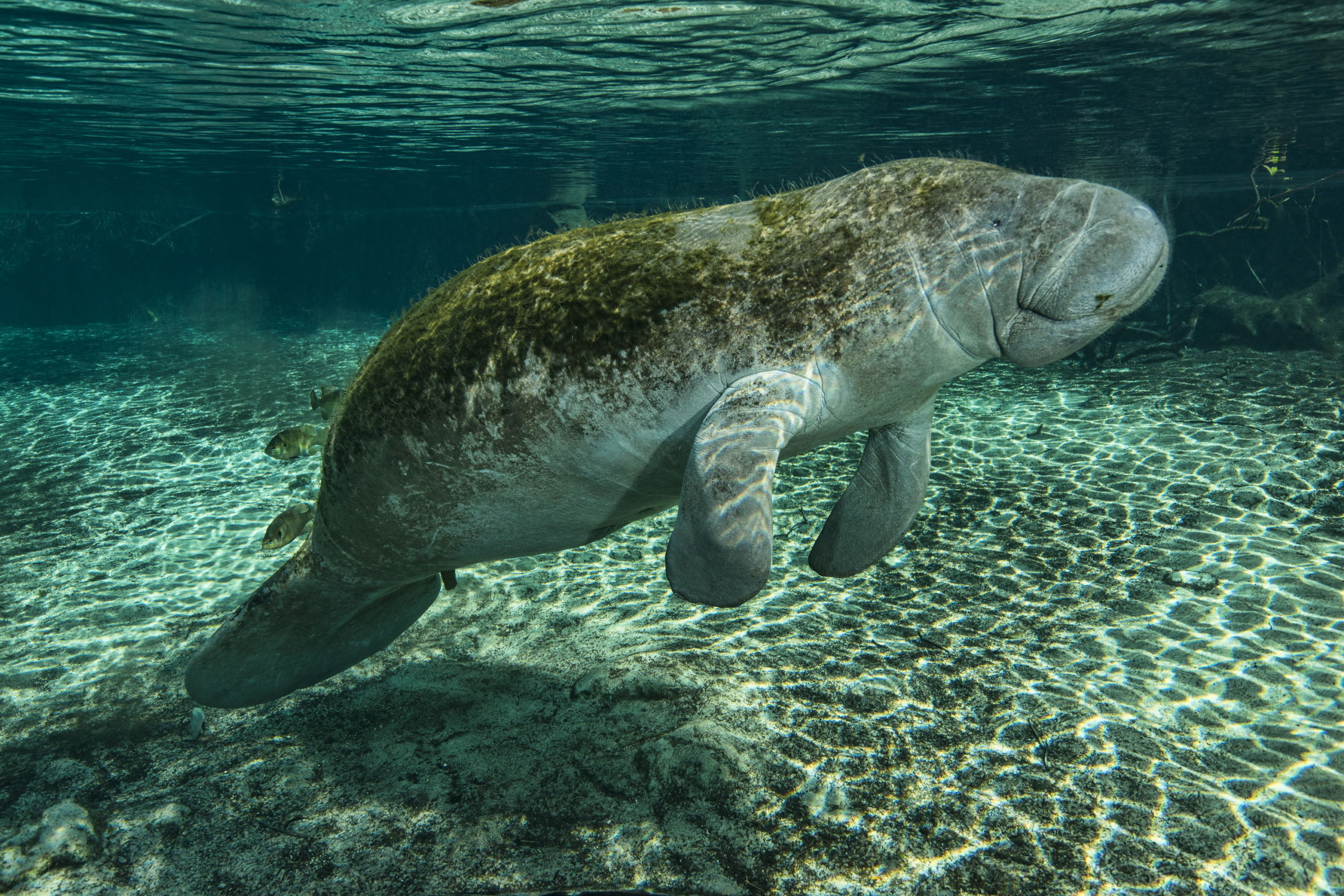 Manatees of the Crystal River - Big Animal Encounters with Don Silcock