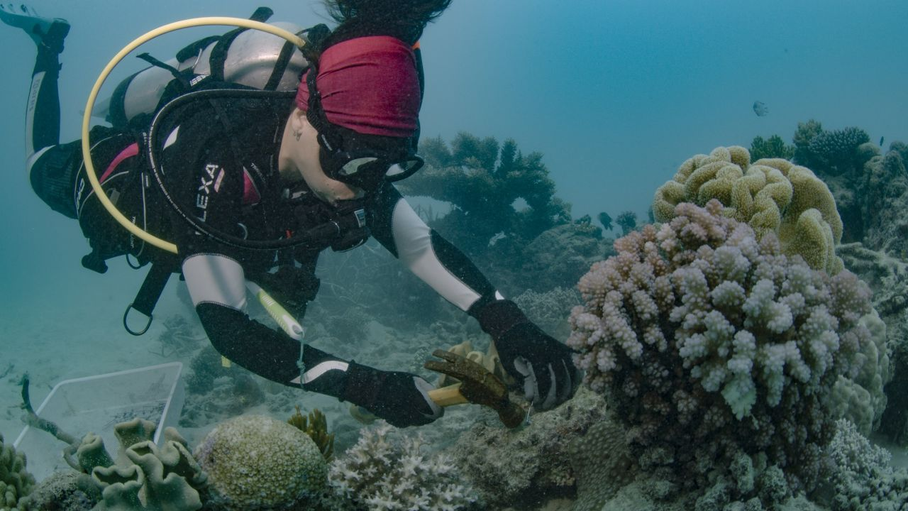 Coral planting. Credit: Great barrier reef foundation