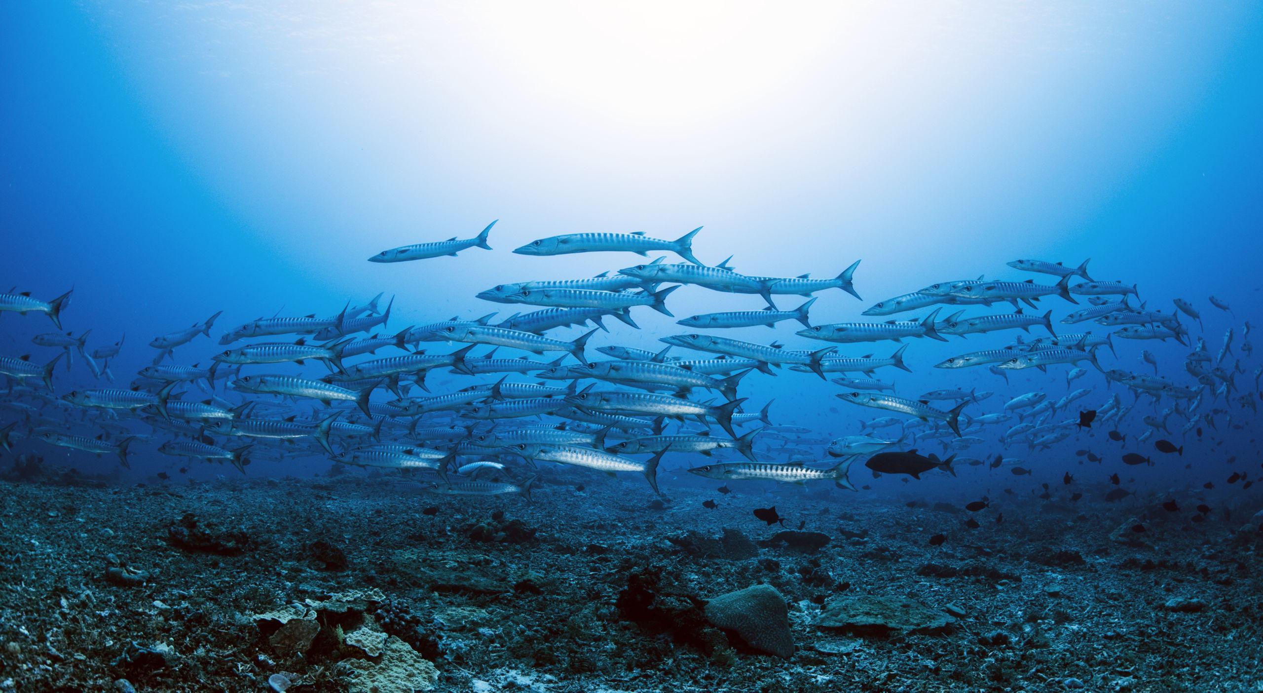 School of barracuda by Dyun Depasupil
