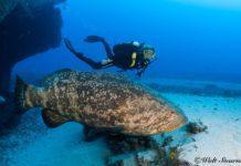 Floridas Goliath grouper