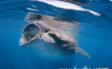 Mexico Whale Shark Feeding