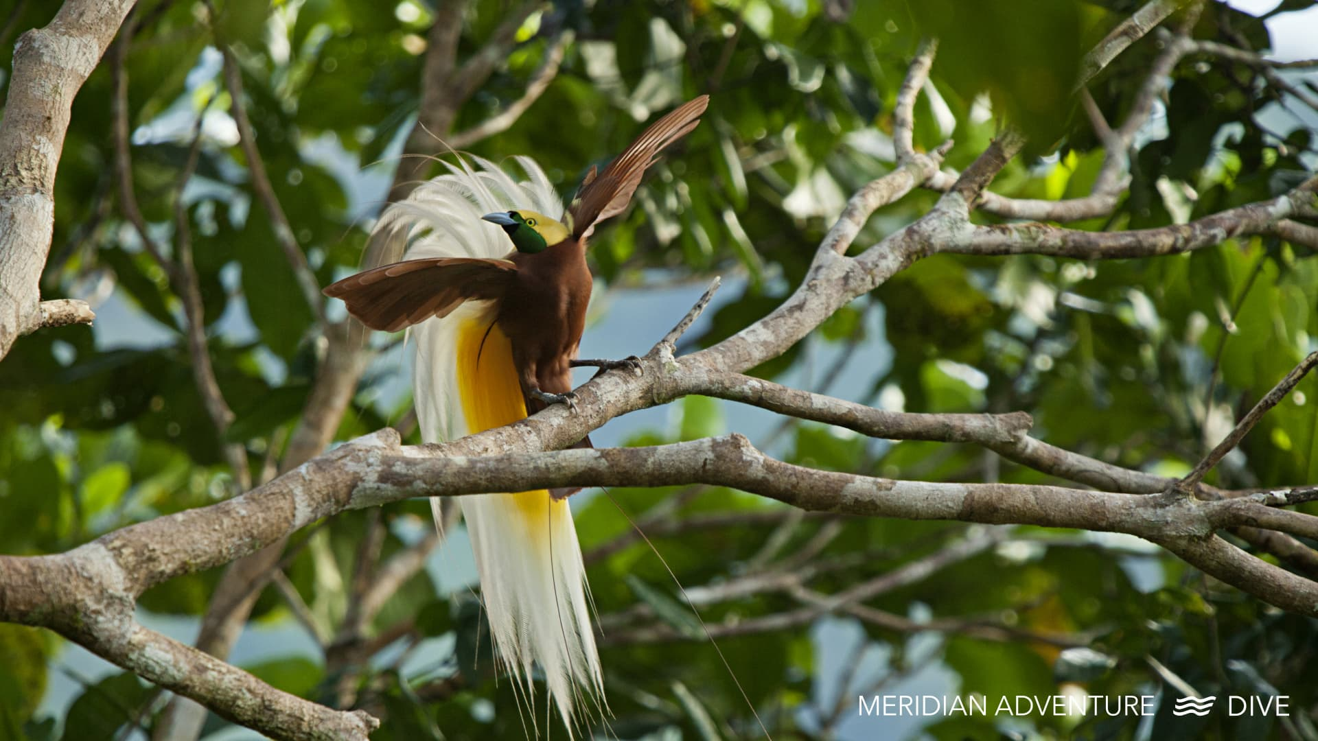 The Birds of Paradise of Raja Ampat