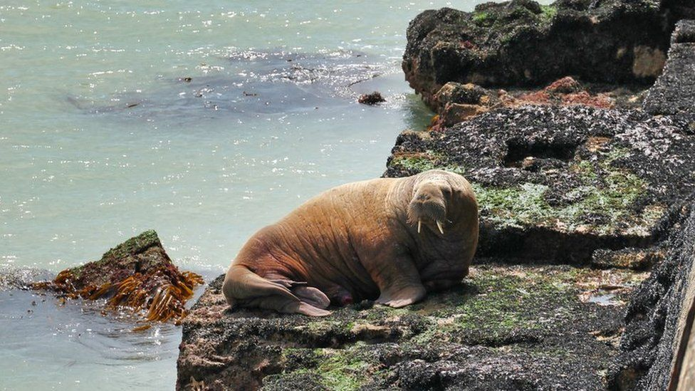 Wally the walrus 'hit by boat' in France