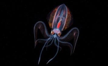 Diamond squid
