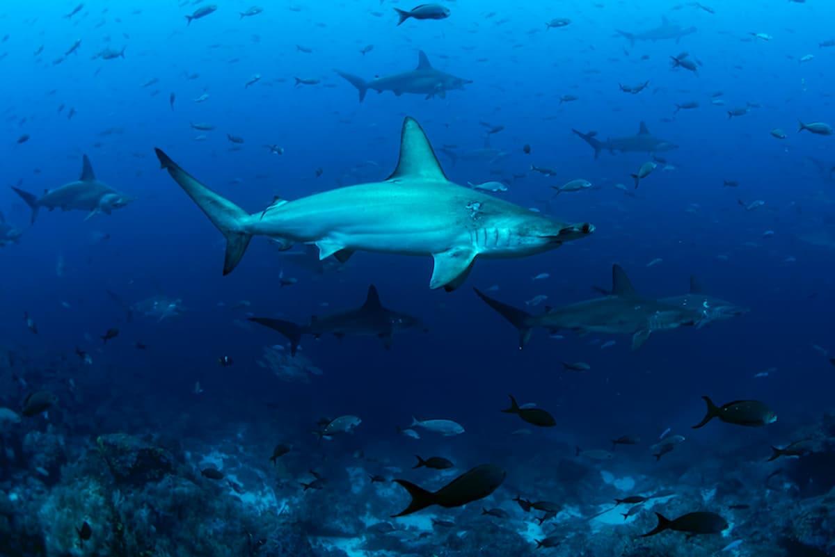 Galapagos shark diving hammerhead