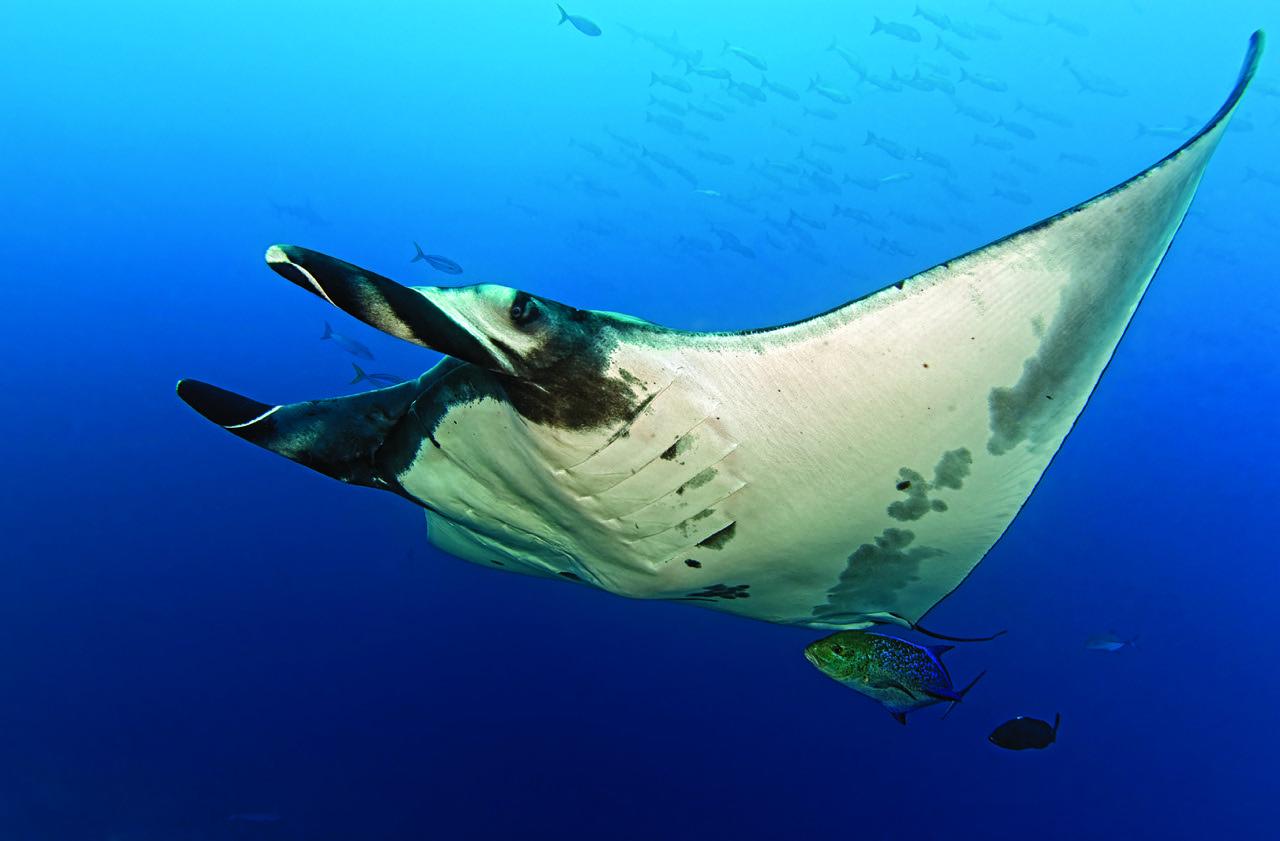 ray manta pelagic