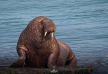 Wally the walrus European tour