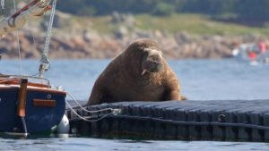 Wally the walrus causing chaos on the Isles of Scilly