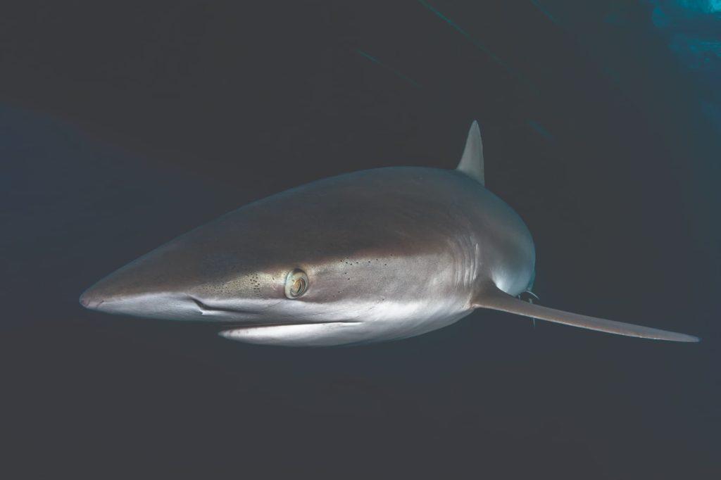 Silky shark under the boat at San Benedicto Island
