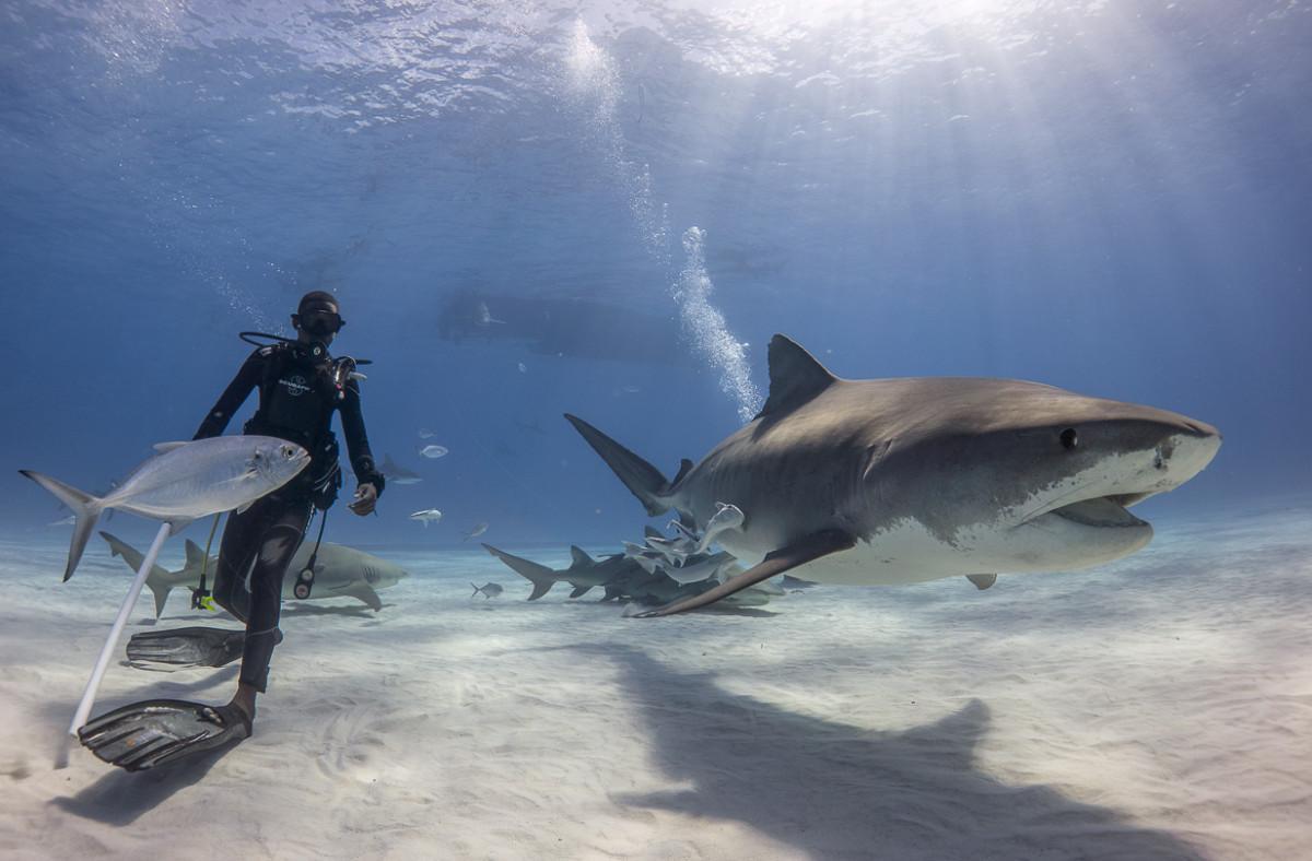 Diving with the tiger sharks at Tiger Beach, Bahamas