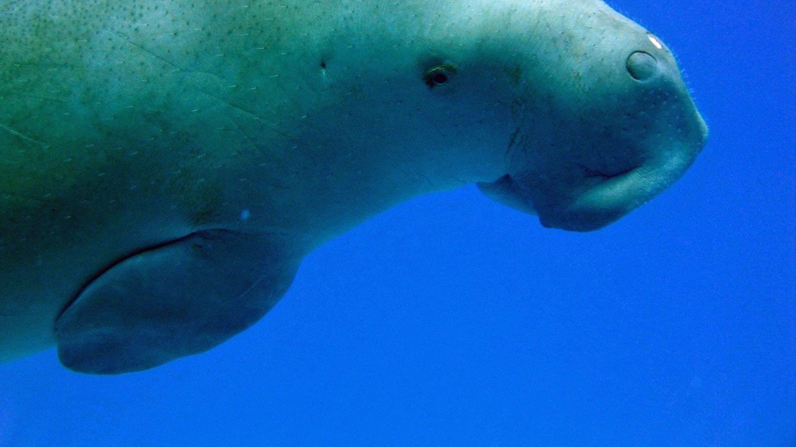 Endangered Dugongs