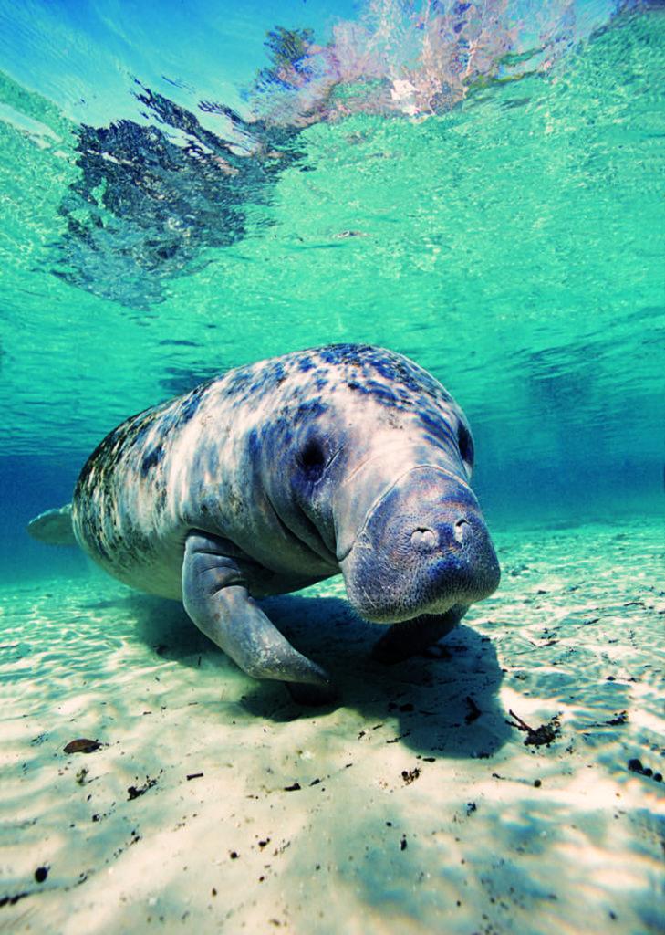 manatee diving 2