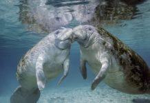 Manatees Kissing